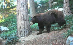 Bear in Cedar Ridge Estates